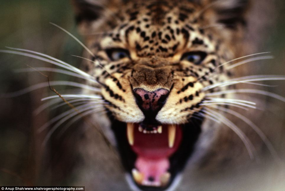 Close-up: A snarling female leopard shows what she thinks of photographer Anup Shah's camera