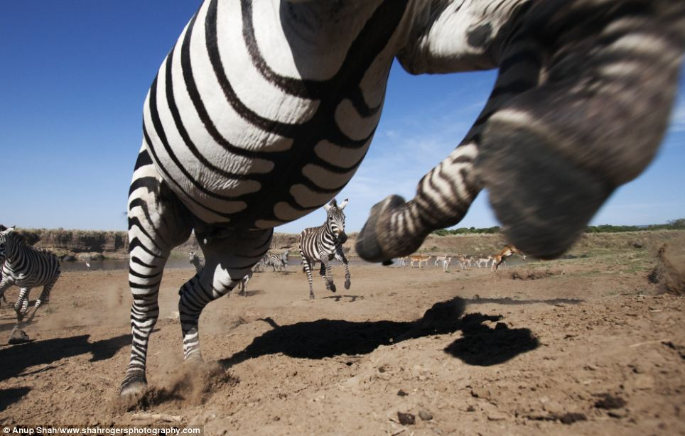 Little and large: A herd of zebra head away from the Mara River in Kenya. A baby tries to keep up with its mother