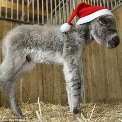 Dog High Chair Faux Leather Dining Little Donkey Is Plodding On Towards Christmas After Being Born Premature | Daily Mail Online