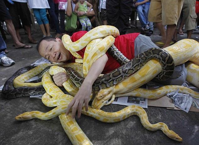 Knot fun: Filipino reveler flirts with danger as he plays with Burmese Pythons