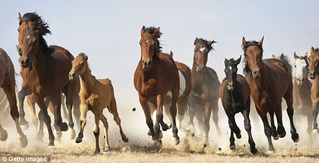 Mustangs are regarded as a symbol of the frontier history of the American West