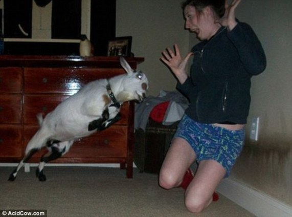 Goats are not your normal household pets and, judging by the behaviour of this example, for good reason