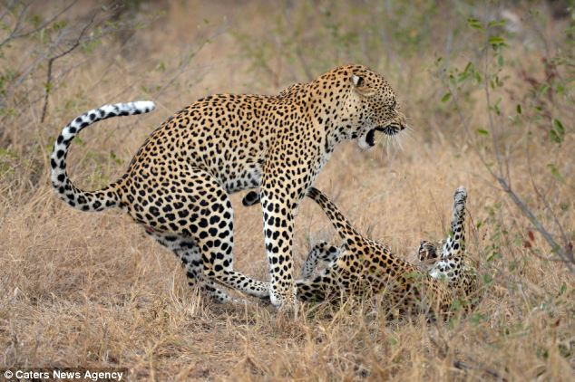 Photographer Mohammed Alnaser, 34, took these pictures in the Londolozi Private Game Reserve in Sabi Sands, South Africa