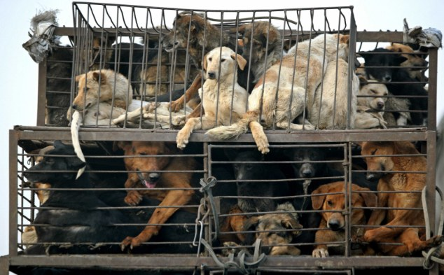 Dog's dinner: Although human consumption of dog meat is mostly associated with Asian countries such as China, pictured, Swiss farmers confessed to breeding dogs for their meat