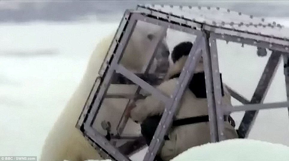Man vs nature: The polar bear battered Buchanan in his tiny cage
