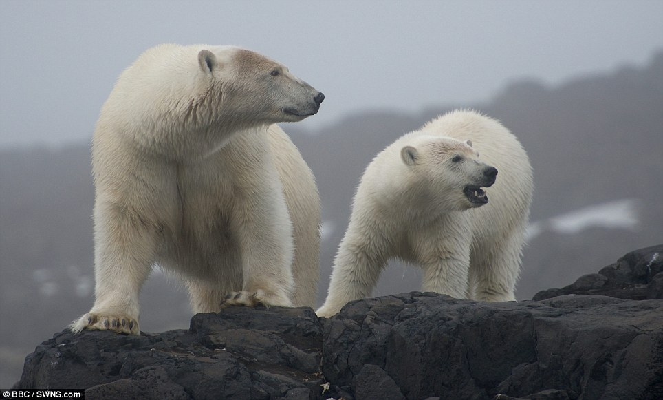 Fearless predators: The cameraman said that of all animals, the polar bears are the ones he respects most
