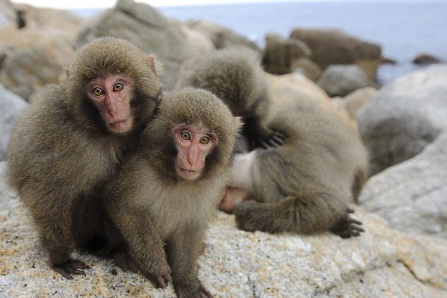 Japanese macaques on the island of Yakushima