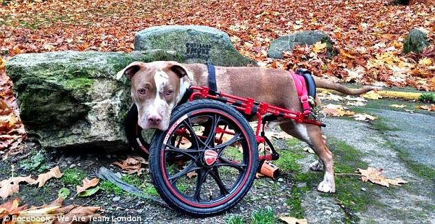 Out of harms way: The pitbull hasn't slowed down since being fitted with its wheelchair and is now a happy and healthy pitbull