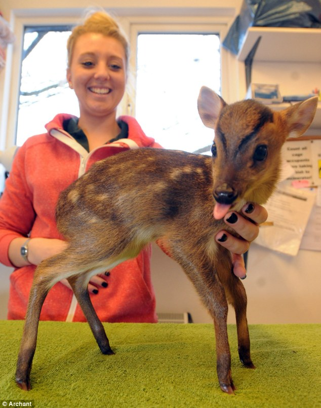 Baby Muntjac Deer : muntjac, Newborn, Muntjac, Rescued, After, Homeowner, Found, Collapsed, Freezing, Garden, Daily, Online