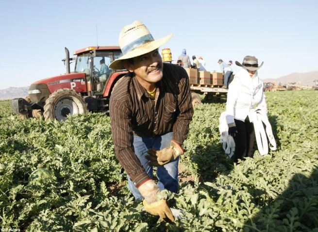 Working hard: Mexican migrant worker Javier Gonzalez and his wife Guadalupe pick watermelons in Dome Valley near Yuma, Arizona. More than $23 billion is sent to Mexico from the U.S. every year