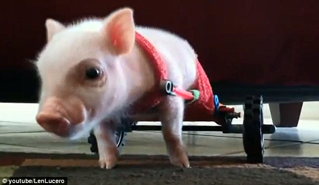 chair on wheels stand test wikipedia adorable piglet chris p. bacon born without hind legs can walk with tiny wheelchair | daily mail ...