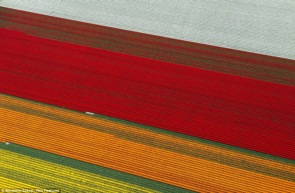 The tulip fields of Anna Paulowna, a municipality in North Holland, attracts thousands of tourists every year who came to watch the colourful plains
