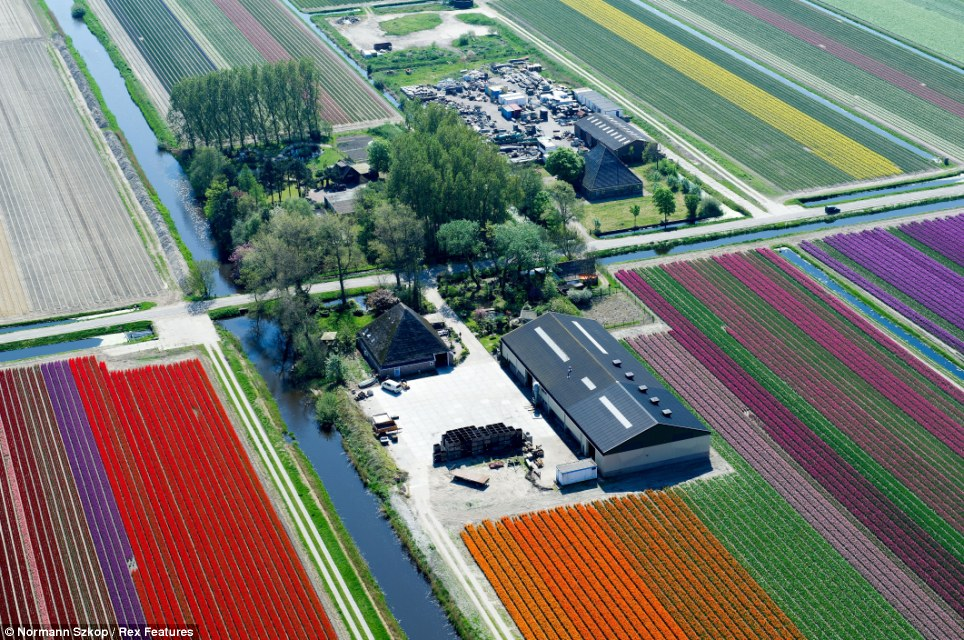 The Netherlands is the world's biggest exporter of tulips and grows three billion bulbs a year