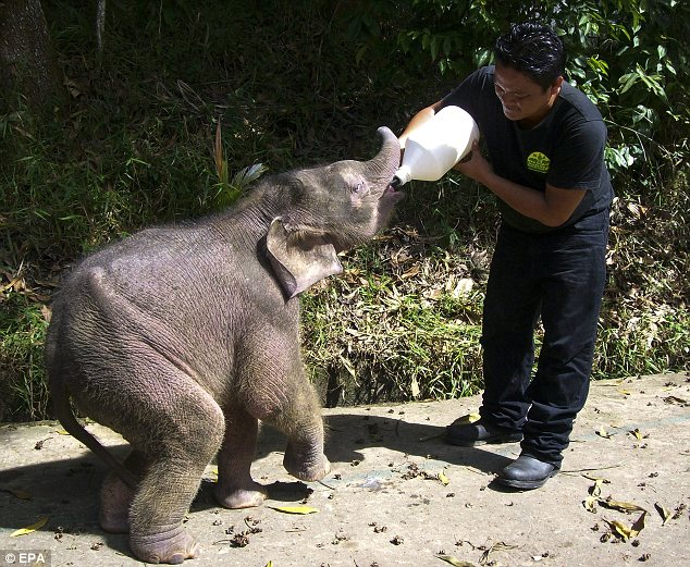 Feeding: Keepers have found a special formula of milk which caters to Joe's nutritional needs