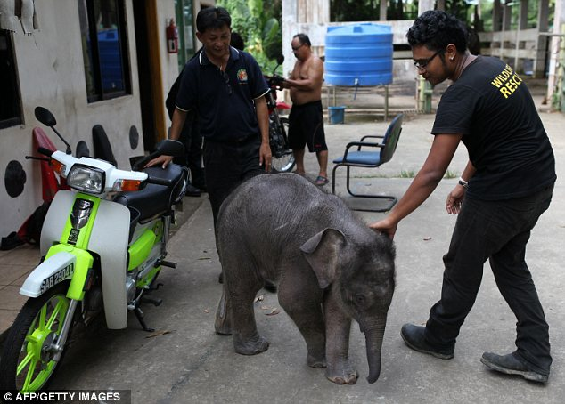 Popular: The orphaned elephant has been a hit with handlers at the wildlife centre in Malaysia