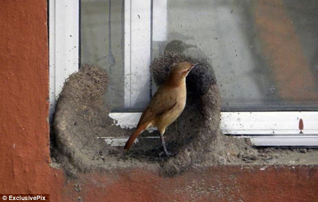 The South American ovenbirds, also known as el hornero (the house builder) start building their nests out of clay or mud mixed with fibres, straw and hair during the winter months