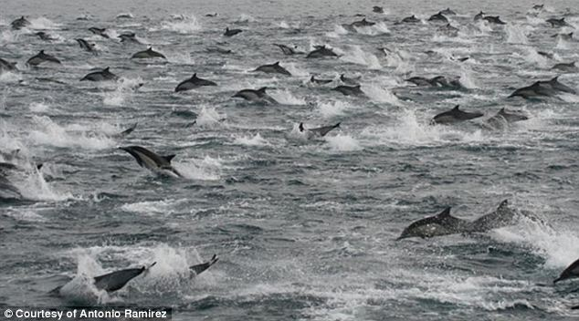 Massive group of mammals: A ship captain spotted a group of 100,000 dolphins swimming together off the coast of San Diego on Thursday and experts are unable to give a specific reasoning for why such a large group would be there