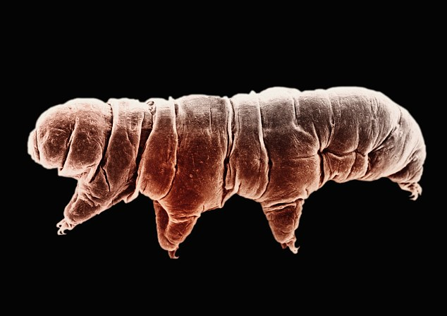 Image result for planet's hardiest animal it's the tardigrade