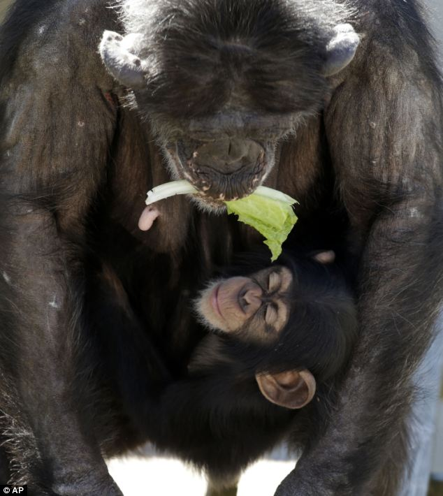 Hold tight! A mother chimp holds a piece of lettuce in her mouth as she carries her baby at Chimp Haven in Keithville