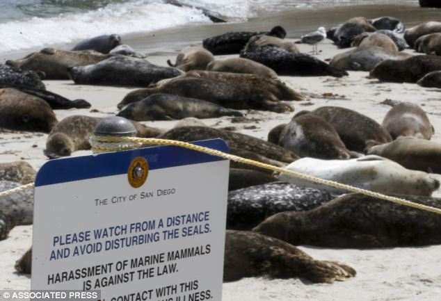 Harbor seals are supposed to be protected by having their own area of the La Jolla beach, but many people ignore the rope and sign