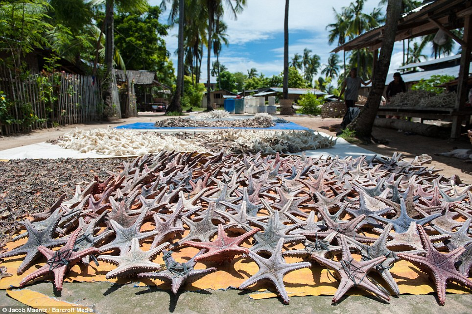 Elsewhere: Mounds of starfish were pictured baking in the sun on Olango Island, Indonesia, at the start of their journey from sea creature to home decoration