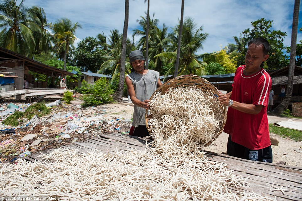 Baskets: Workers sort through a huge pile of starfish being bleached in the sun on Olango Island at the start of their journey from sea creature to home decoration