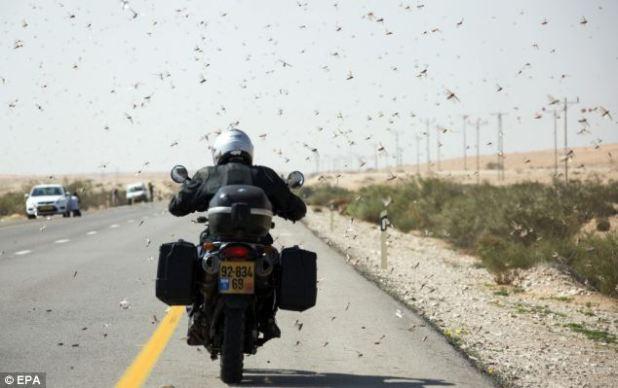 Plagued: An Israeli motorcyclist negotiates the road despite a plague of locusts surrounding him