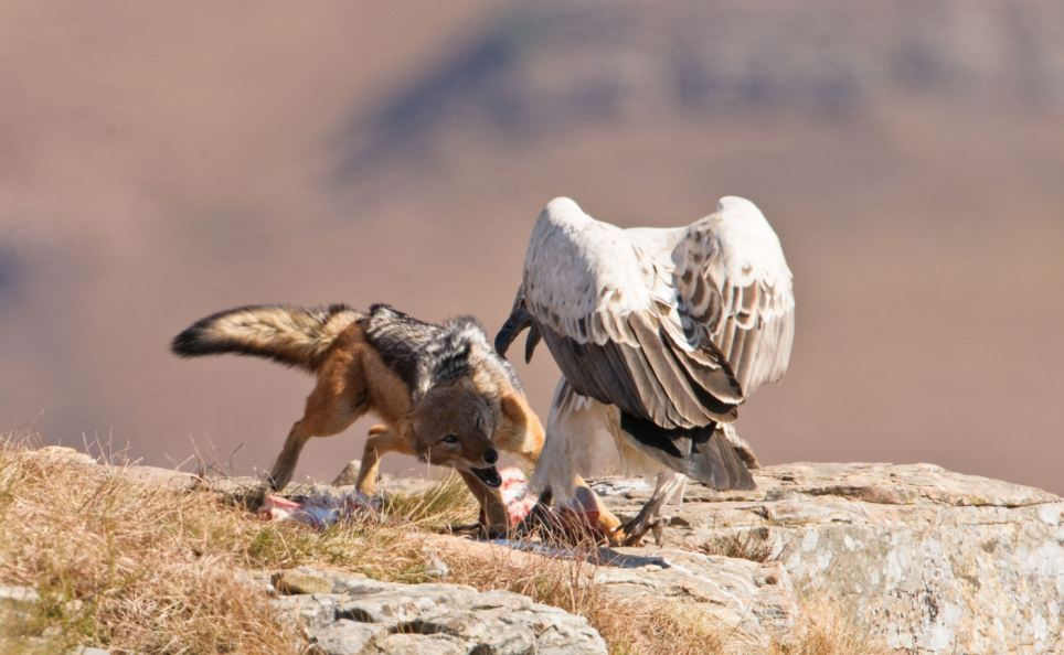 Jackal takes on a vulture and WINS Incredible moment