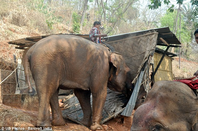 Eviction notice: An Indian elephant smashes down an illegal shack in the Assam jungle