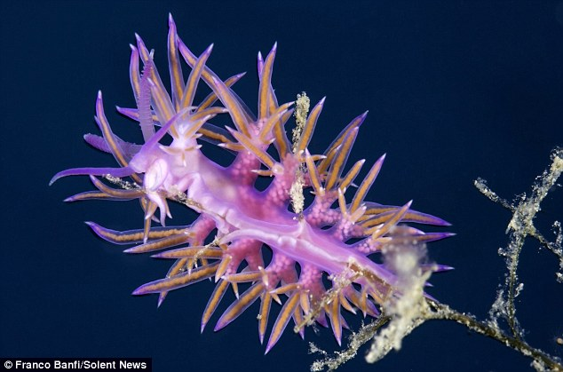 They can be found crawling over rocks, seaweeds, sponges, corals and many other substrates