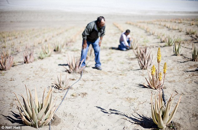 Farmers at a fog collection co-operative in Chanaral, northern Chile inspect aloe vera plants which they grow using the water from large fog collecting nets