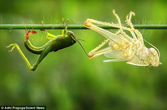 A bright green grasshopper emerges from its old skin, leaving a perfect replica of itself behind