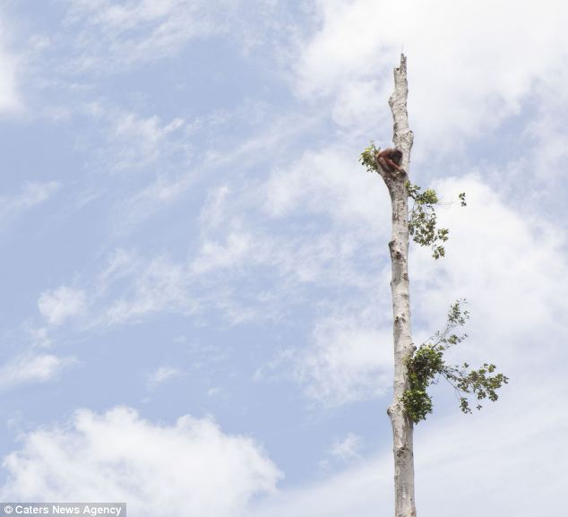 Scared and alone: An orangutan clings to the last tree in her forest after it was devastated by bulldozers. She was rescued along with a number of other orangutans