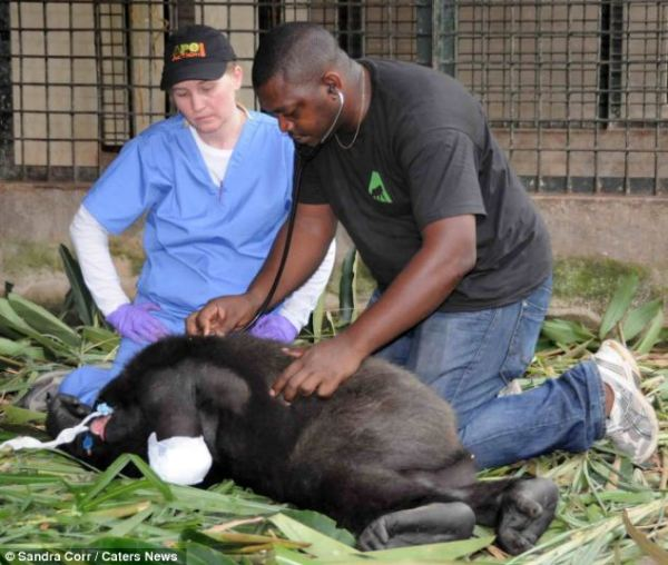Onearmed gorilla whose mother was killed by poachers can