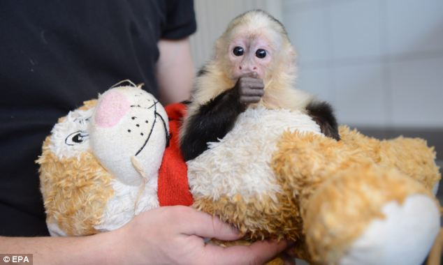 The capuchin monkey, taken from its mother at nine weeks, is treating a cuddly toy as its surrogate parent