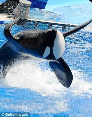 Captivity: Following Brancheau's death, SeaWorld was fined for health and safety breaches, but Tilikum and other whale continue to perform
