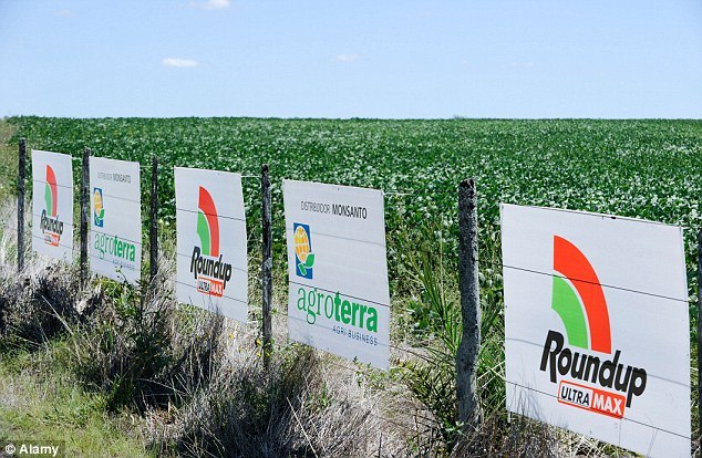 Large-scale use: Roundup weed killer, whose main ingredient is glyphosate, is sprayed over millions of acres of crops