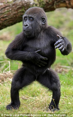 Going ape for Gangnam its Psy the gorilla Forget
