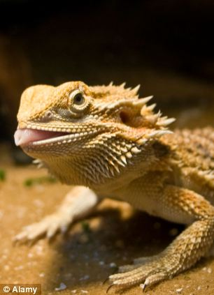 The Barbaturex morrisoni would have resembled a modern-day bearded dragon