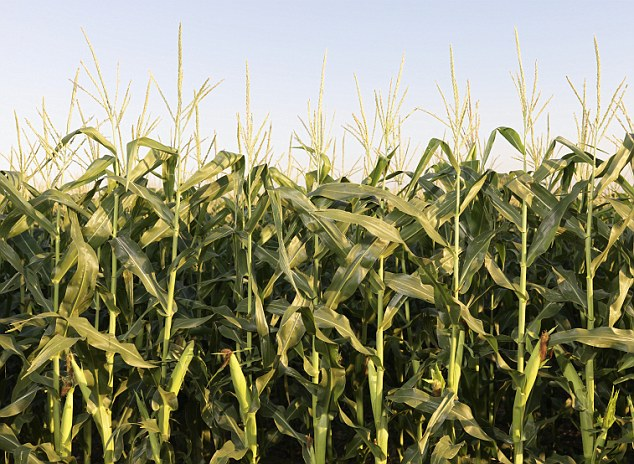 Excess: The U.S. government subsidizes corn farms - meaning there's huge quantities of excess corn being produced which is used for everything from cattle feed to ethanol to the addictive high-fructose corn syrup