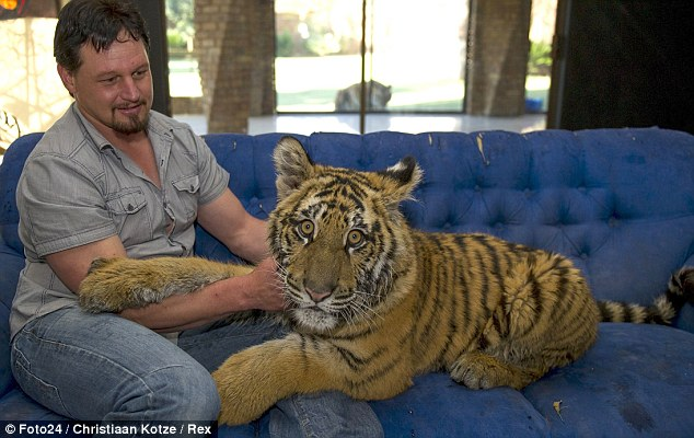 A tale of two tigers South African man loves big cats so