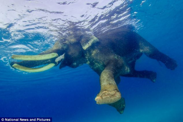 The Asian elephant is a retired working animal called Rajan and is the only elephant in the world to swim in the sea