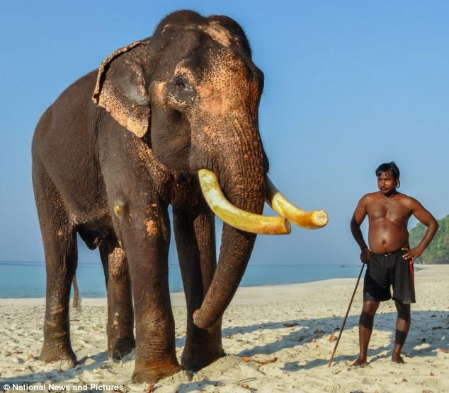 Wolfgang Zwicknagl said the tips of Raajan's tusks have been cut slightly as he had some difficulties moving his trunk