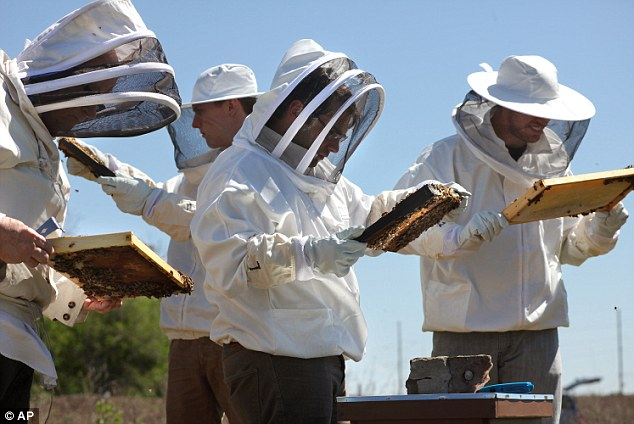 Possible extinction: 30 per cent of honey bee colonies have died out every winter since 2007, a number making scientists concerned about the future agriculture