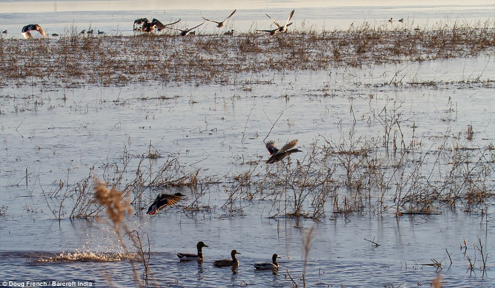 Snow Geese travel through the Central Flyway, across some of the richest farmland in America