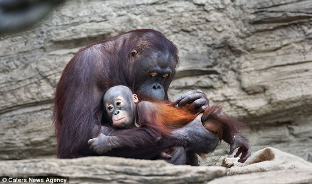 The orangutan learnt the technique after watching his parents on the rope in their Moscow Zoo enclosure