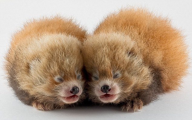 Cute Baby With Parents Wallpaper Adorable Pictures Of The Moment Two Tiny Baby Red Panda S