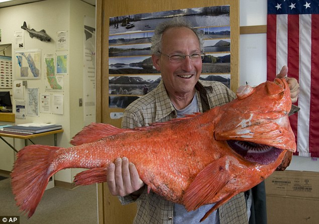 Caught: Sport fisherman Henry Liebman caught a rockfish measuring 104 centimeters and weighing 39.08 pounds, it may also be well over 200-years-old