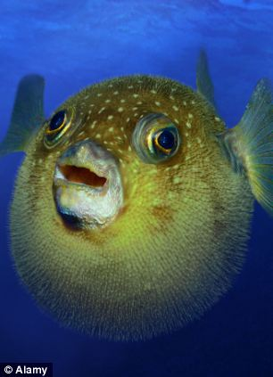 Scientists have been examining the jaws of pufferfish, which over millions of years have evolved special beaks to crack open crab shells and munch on crunchy food