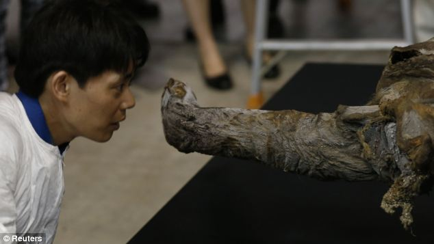A worker looks at the exhibition hall in Yokohama, south of Tokyo, inspects the snout of the 39,000-year-old woolly mammoth.